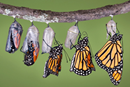 Stages of a butterfly emerging from a chrysalis. Image courtesy of The Upper Room.